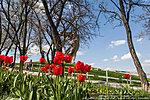 Тюльпаны на Мамаевом кургане