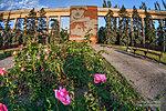 Розы у дома Павлова